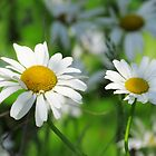 Dancing Daisies by lorilee