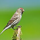 Lesser Redpoll by M.S. Photography & Art