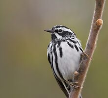 Black-and-white Warbler. by Daniel Cadieux