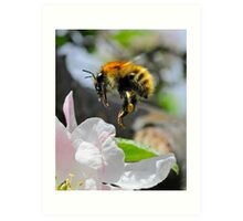 Pollinating Bumblebee Art Print