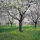 Canopy of Apple Blossoms by naturesangle