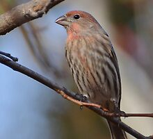 Purple Finch by Kathy Baccari