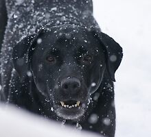 Black Lab in Snow by Jeri Stunkard