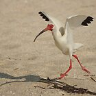 Ibis Walking by Scott Dovey