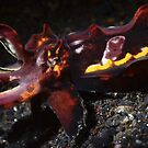 Flamboyant Cuttlefish  by MattTworkowski