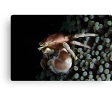 Porcelain  Crab Canvas Print