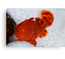 Painted Frogfish Canvas Print