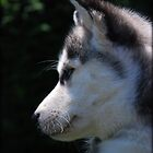 Profile Of A Husky Pup by jodi payne