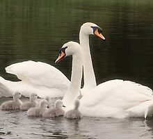 mute swans with cygnets  by glphotos