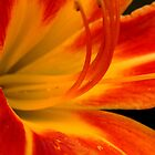 Daylily Bloom   ^ by ctheworld