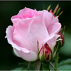 Pink Knock Out Rose 2 by Christine  McClung