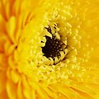 The Eye of a Gerbera by blumecreations