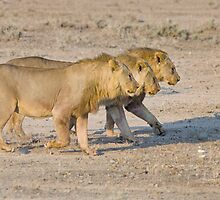 Brothers in Arms - Etosha NP Namibia by Beth  Wode