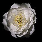 White rose by mjamil81