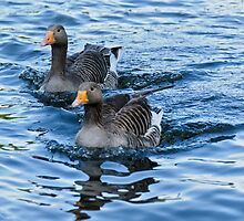 Ducks in water by mjamil81