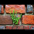 A Single Plant Growing Out Of The Old Red Brick Wall - Upper Brookville, New York  by © Sophie W. Smith