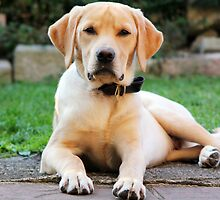Maximus Labrador Retriever Gold by adam9596