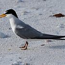 Least Tern by Dennis Cheeseman