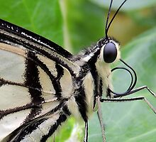 Citrus Lime Swallowtail Butterfly 04 by Magic-Moments