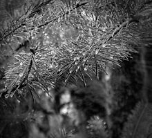Dew on Pine Black & White by DesignsbyAngela