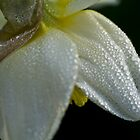 Spring daffodil with dewdrops by ruthjulia