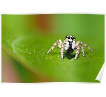 Zebra Jumping Spider Poster