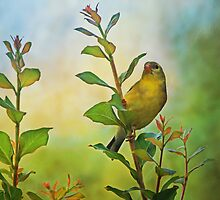 American Gold Finch by Sandy Keeton