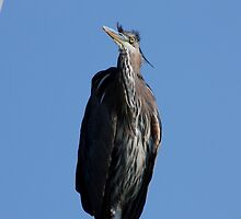 Great Blue Heron #2 by Kane Slater