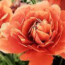 Peachy Ranunculus by Sharon Woerner