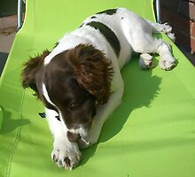 Springer On A Sun lounger by Louise Parton