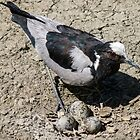 Male Blacksmith Lapwing  by Linda Sparks