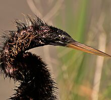 Young Anhinga Portrait by Kathy Baccari