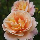 Summer Garden Roses by Phill Sacre