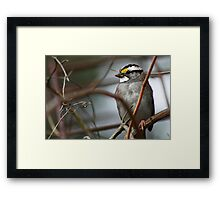 Can You See Me? - White-throated Sparrow Framed Print