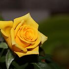 A Texas Yellow Rose by aprilann