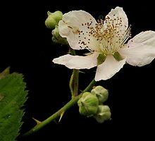 OREGON BLACKBERRY FLOWER  AND RECIPE by RoseMarie747