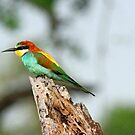 A European Bee-eater by jozi1