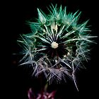Dandelion on Black by Melissa Park