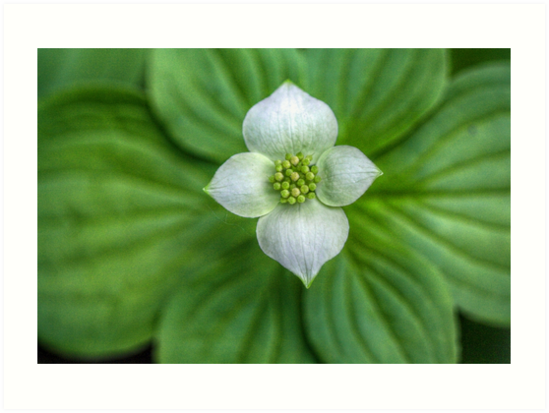 Dogwood Flower I by EelhsaM
