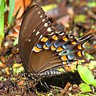 Spicebush Swallowtail Butterfly by jozi1