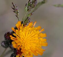 Yellow Hawkweed I by EelhsaM