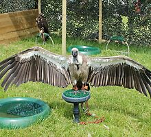 White Backed Vulture by AnnDixon