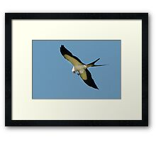 Swallow Tailed Kite With Insect Framed Print