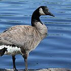 Canadian Goose by Lisa Azzolino