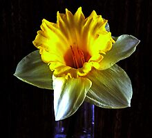 Daffodil in the dark by Avril Harris
