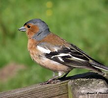 Chaffinch by trish725