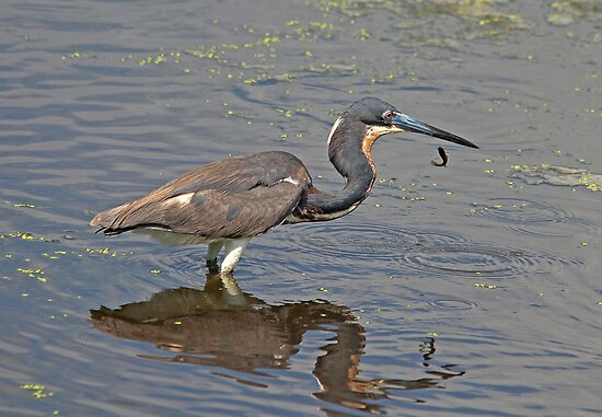 Tri-Colored Heron Drops Fish by imagetj