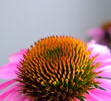 Echinacea by QCPhil