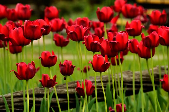 Red Tulips in the Country by Joanne  Bradley
