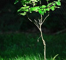 Sunlit Sapling by Laurie Minor